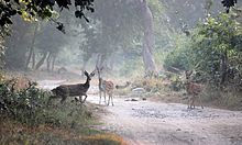CHITAL CROSSING IN A FOREST PATH IN JIM CORBETT NATIONAL PARK